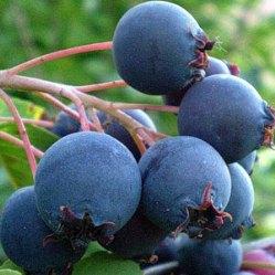 ирга плоды